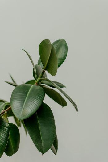 """風水で西の方角は""""金運""""や""""恋愛運""""に影響を与える方位とされています。そんな西の玄関と相性が良いのは、パキラ・ポトス・ベンジャミン・ゴムの木など、丸型の樹姿や丸い葉っぱを持つ観葉植物です。"""