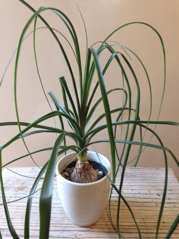 また、トリックランやタコノキ、カラテアなど変わった樹姿の植物や、ユニークな葉型の観葉植物とも相性抜群です。