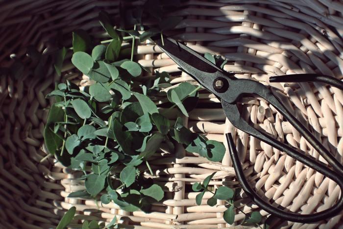独特の清涼感のある香りが人気のユーカリ。成長がはやいため、ベランダやお庭でも育てやすく、剪定したグリーンをささっと飾れば素敵なインテリアになります。世界には500種類を超えるユーカリがあり、コアラが食べるのはその一部のおよそ40種だけで、新芽だけを選んで食べます。
