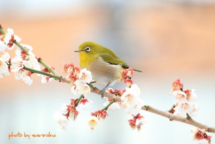 梅の花に誘われやって来たメジロの姿も見ることができます。10種類以上の梅の木が植えられており、一重、八重咲とバラエティーに富んだ梅の花が楽しめます。色も白・淡紅・薄紅・紅と様々。