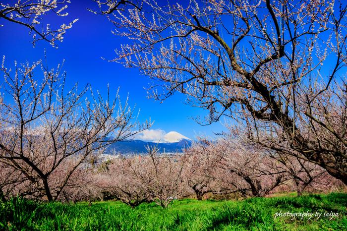 梅林には、梅干し用の十郎梅、梅酒など加工用の白加賀、梅干し・加工兼用の南高、観賞用の枝垂れ梅など約35,000本もの梅の木が植えられています。果肉が柔らかくて美味しい「曽我の梅干し」は、お土産に持ち帰りたい一品です。
