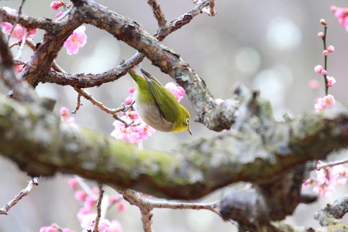 梅の花に遊びに来たメジロにも出会えるかもしれません。