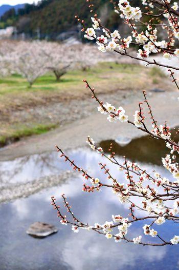 関東三大梅林のひとつ「越生梅林」は、2haもの敷地内に約1000本の梅の木があり、例年2月中旬~3月下旬には梅まつりが開催されています。