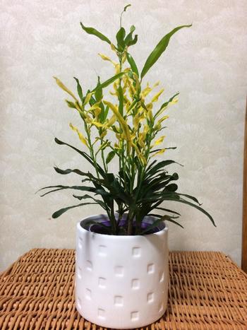 クロトンは、東南アジアでよく見られる植物でさまざまな品種があり、種類によって葉っぱの色も違ってきます。金運アップには、黄金の色が入ったキラセンという種類がおすすめ。葉っぱが上向きなので、前向きな気持ちへ導いてくれる効果も期待できそう。玄関やリビングなどに置くと良いでしょう。