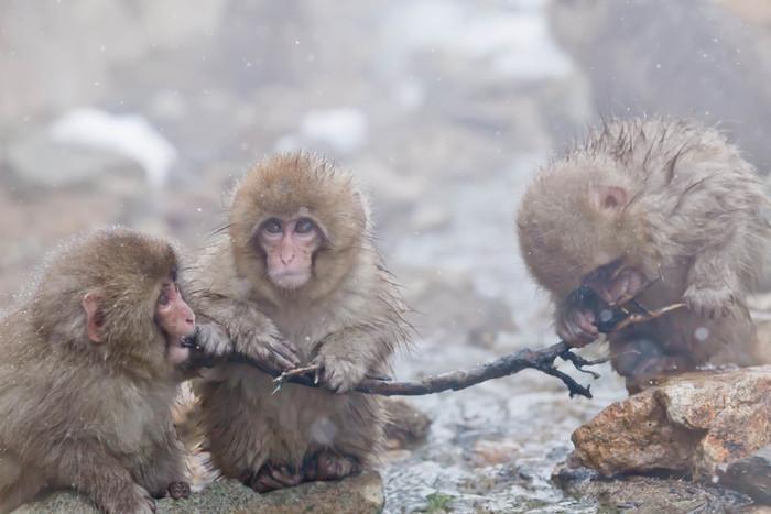 しかし、餌付けされているとはいえ野生の猿なので公苑に現れない日も…