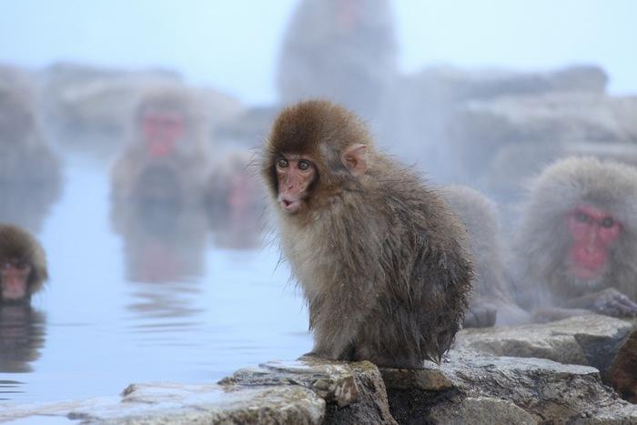 地獄谷野猿公苑には休苑日は無く、猿の生体を一年中観察することができます。