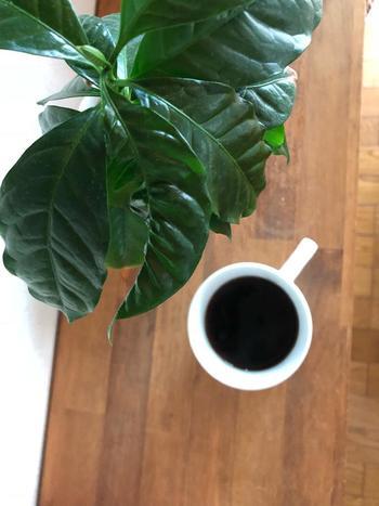 そんな方におすすめしたいのが、意外と手に入りやすい『コーヒーの木』です。様々なサイズで流通しているため、一人暮らしお部屋でもすぐに始めることができますよ。上手に育てることが出来れば、花を咲かしたり実を付けたりします。