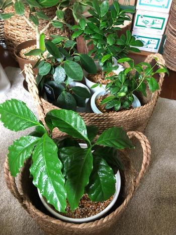 実は観葉植物としても人気のコーヒーの木。お部屋の中で育てることができ、日本の気候でも問題なく育ってくれます。