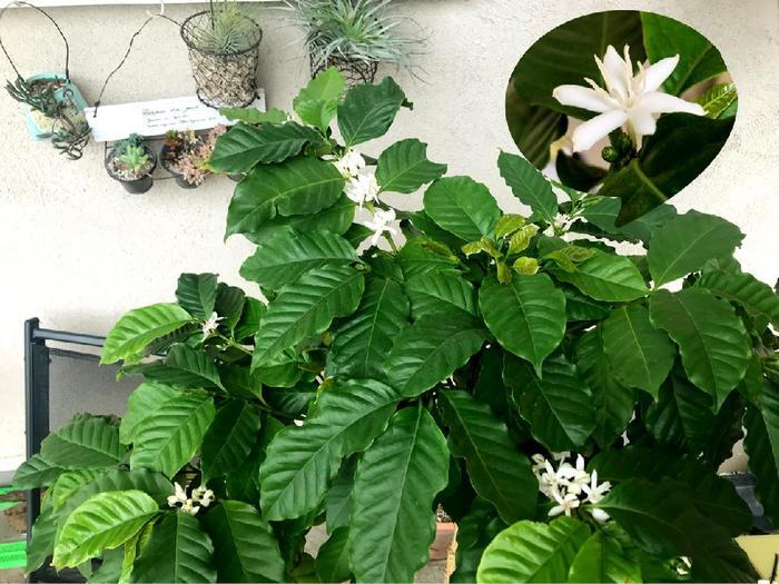 生い茂った大きな葉は、つやつやとした光沢のある濃緑色がきれいですね。室内で育てる場合は、ギザギザの葉っぱにホコリなどの汚れをつかないよう保つように心がけましょう。そうすることで、そのつややかな葉を維持することが出来ますよ。