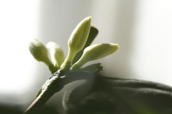 コーヒーの木は、数年栽培して1mを超える程の大きさになった頃から、葉と葉の間に小さな白い花を咲かせます。5~6月頃に開花し、2日ほどでしぼみます。