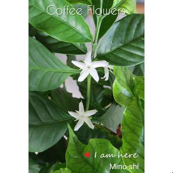 見た目も愛らしい白い花は、コーヒーからは想像ができない、ふんわり優しいジャスミンのような甘い香りを漂わせます。満開になると、周囲に甘い香りが広がります。