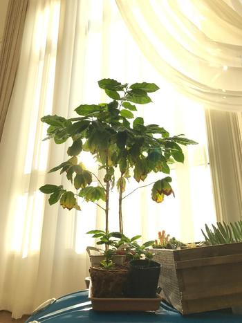 コーヒーの木は、基本的に日光を好む植物なので、窓辺などの明るい場所に置きましょう。ですが、気温が下がり寒くなる季節には、夜は窓から離してあげたり、置き場にはその都度気にしてあげるといいでしょう。