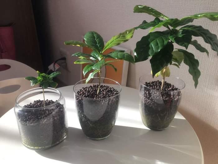 コーヒーの木は、生育が旺盛で、環境が整うとぐんぐん大きく育っていきます。大きく育つとすぐに鉢の中に根が詰まってしまうので、根詰まりで葉の先が茶色く枯れてきたら、季節を問わずに大きな鉢に植え替えてあげましょう。また成長がはじまる春には、ひとまわり大きめの鉢に植え替えてあげるのがベストですよ。