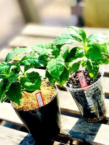 お部屋の中で手軽に育てることの出来るコーヒーの木。艶やかな緑色の葉っぱがきれいで、ぐんぐん上手に育てられれば、花や実をつけてくれることも!上手に育てて、マイブランドコーヒーを味わってみるのも夢じゃないかもしれません。