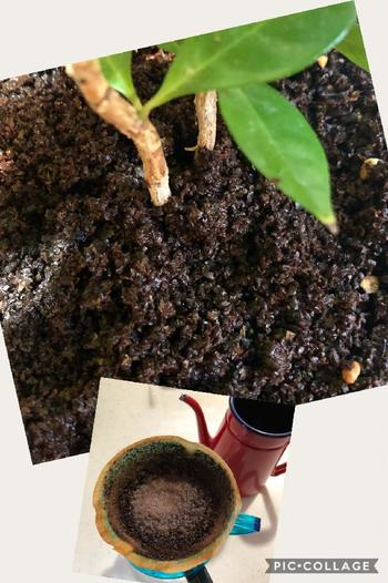 コーヒーの木がもっとも生育する春と秋の間を中心に、肥料を与えます。効き方がゆっくりで一定期間効果が長続きする『緩効性の肥料』を、秋の始まりから秋の終わりまで繰り返し与えましょう。また、4月頃~7月くらいまでと9~10月の間は、緩効性肥料に加え液体肥料を薄めて与えましょう。