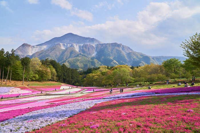 色とりどりの芝桜が眩しい羊山公園。4月の桜の開花時期には遠方からも多くの人々が訪れ賑わいます。秩父の名山、武甲山の麓にあり、公園から周りを見渡せば、また絶景。石灰採掘で山肌が削られた武甲山の武骨な姿の前に、華やかな芝桜のピンクがより際立ちます。