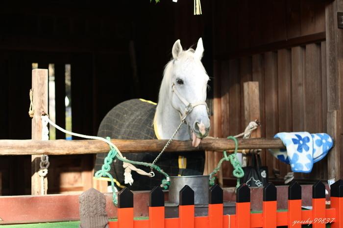 神話の時代に「人々が馬に乗って神の降臨を願った」ことから馬にまつわる神事が多く、日本の乗馬発祥の地としても広く知られている上賀茂神社。馬に関わる神事も行われ、二の鳥居前に建つ神馬舎では、神馬である美しい白馬「神山号(こうやまごう)」も境内で飼育されています。毎週日曜・祝日・祭礼の日にお天気がよければ、厩舎でお目にかかれるかもしれません。
