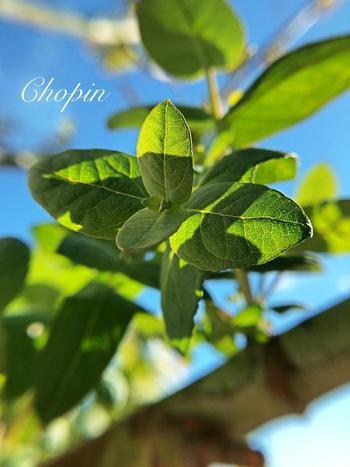 日本では明治時代から親しまれてきたユーカリ・グロブルス。ユーカリ特有の香りが強く、精油として使われることが多い品種です。葉を撫でると爽快感のある香りがふわりと漂います。