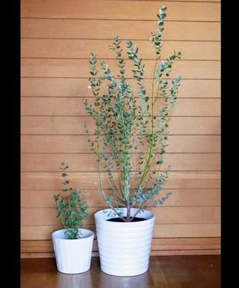 銀色がかった葉の色味が美しいユーカリ・グニーは、シンボルツリーとして玄関先に飾っておきたくなる上品さがあります。湿度の高い日本でも育てやすい品種です。