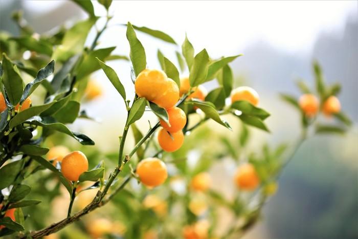 柑橘類はビタミン豊富で風邪の予防に効果的ですが、特に「きんかん」はのどによいと言われます。柑橘類の皮には炎症を和らげる効果が期待できる成分が含まれており、きんかんは皮ごと食べる事ができるのもうれしいですね。