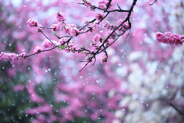 厄払いだった上巳の節句がひな祭りに変化し始めた頃の暦は、今でいう「旧暦」でした。当時の3月は現在の4月頃に当たるので暖かく、桃の花の時期だったので「桃の節句」となったわけですね。今の暦では桃の花には少し早い地域が多く「桃の節句」という実感が薄くなってしまっています。