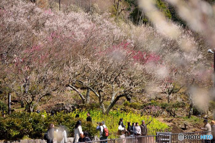 「湯河原梅林 梅の宴」開催期間は、梅林を眺めながら食事などを楽しめます。湯河原梅林限定の梅ソフトクリームが人気なのだそう。梅林のライトアップも予定されており、美しい夜の梅を鑑賞するのもおすすめです。