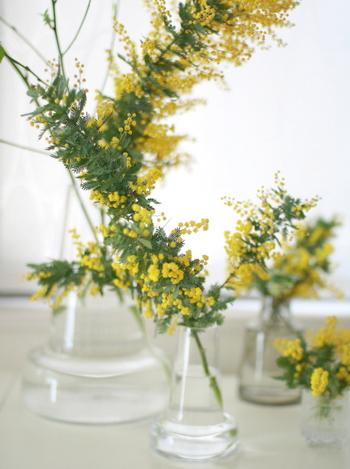ミモザは、銀色がかった細長いグリーンの葉と、ふわふわ丸い黄色の花のコントラストが美しい、オーストラリア原産の常緑樹です。もともとは庭木として楽しまれており、2月~3月になると、木全体が黄色く染まるほどたくさんの花を咲かせます。