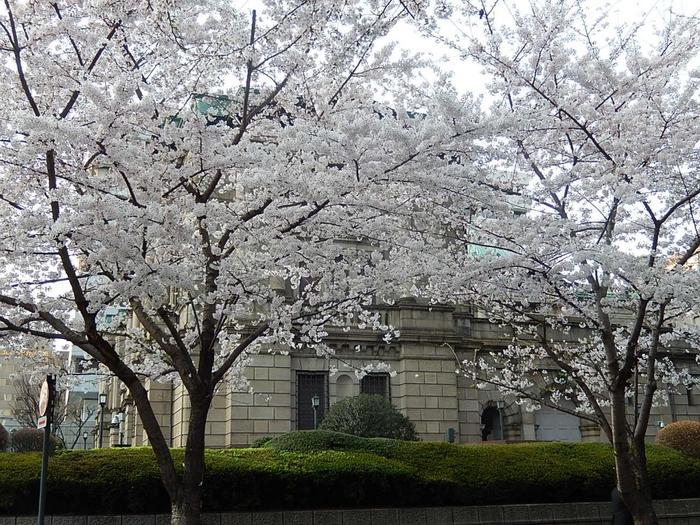 """「金座」の跡には「日本銀行」が建てられ、「越後屋」などの大店は""""百貨店""""として再生し、街には近代洋風の重厚な建物が次々と建てられました。  【「日銀本館」は、中央銀行に求められる絶対的な信用力と権威を見事に表した名建築として知られる。設計は、東京駅丸の内駅舎も手掛けた、明治の大建築家・辰野金吾。完成は、1896年(明治29)、江戸幕府の金貨鋳造所「金座」のあった日本橋本石町に建てられている。  日本人建築家による最初の国家的規模の西洋建築となるために、辰野は欧米各国を14ヶ月にわたり視察、渾身の力を込めて設計に挑んだと伝わる。ベルギー中央銀行をモデルに設計施工され、建物は、本館、旧館、新館で構成されている。 画像は、桜の頃の、「江戸桜通り」と「日本銀行本店本館」。】"""