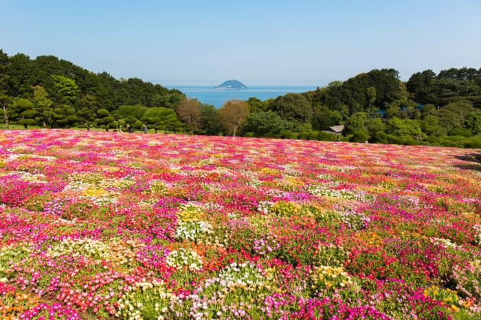 能古島で人気の観光スポットとして知られる「のこのしまアイランドパーク」。季節の花々が広がり、春は菜の花や桜、リビングストンデージーなどの季節のお花を楽しむことができます。夏はひまわり、秋はコスモス、冬は水仙など季節によって違う表情を見せてくれる場所です。