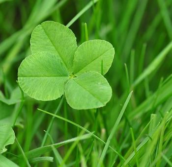 伊良湖岬はまた「幸せの四つ葉のクローバー」発祥の地であり、四つ葉のクローバーが見つかった場所にはその株が植えられています。もし四つ葉のクローバーを見つけたら、1人につき1つまで摘み取って持ち帰ることができますよ。