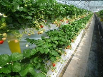 阿蘇山を眺めながら、フルーツ狩りはいかがでしょうか?「果実の国カップルズ」は、1年中果物狩りを楽しめる人気の農園です。