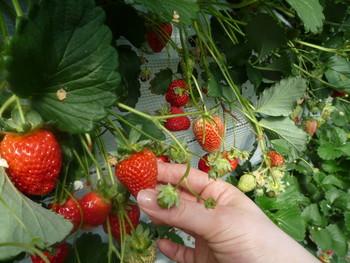高設栽培なので立ったまま収穫でき、もぎたてをそのまま食べられます。甘くてみずみずしいいちごは、何個でも食べられそうですね♪