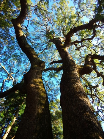 約1万5千坪もある境内には、本殿まで、一の鳥居、二の鳥居、正門、拝殿と一直線に美しく並びます。また、パワースポットとして名高い、樹齢900年と言われる大楠は、伊弉諾大神(イザナギ)と伊弉冉大神(イザナミ)、2神の魂が宿るとされる御神木。神々しい自然の立ち姿は気高く美しく、深い包容力を持って迎えてくれます。