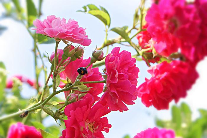 ●どんな色? 灰色がかった、くすんだ紅色  ●名前の由縁 中国から渡来した「庚申薔薇」の漢名「長春花」が由来です。長春とは、常春のこと。薔薇の原生種は日本にもありましたが、長春花のように華やかな品種はなかったようです。「長春色」は、由来となった花の色とは少し異なる落ち着いた色合いで、古来より女性たちに人気がありました。