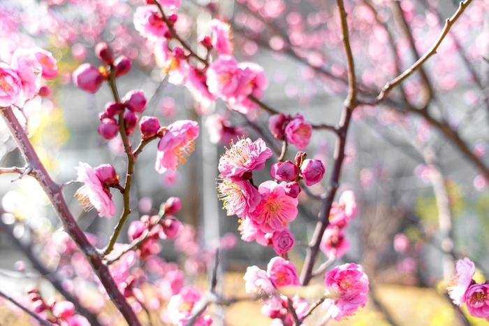 ●どんな色? 明るい紅赤色  ●名前の由縁 重なり合った紅い梅の花のような明るい赤を指すこの色は、平安時代の襲(かさね)の装束に由来します。表を濃紅、裏に紅梅を配して紅梅の花の重なりを表した配色をさしていたよう。まさに「早春」らしい色です。
