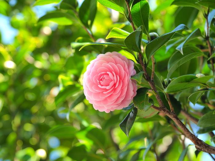 ●どんな色? 黄みを含んだ淡い赤色  ●名前の由縁 早春に花をつける八重咲きの椿「乙女椿」。乙女椿の蕾が膨らんでほんのり赤く染まってくると、春の訪れを感じられることから使われるようになったそう。花言葉は「控えめな美」「控えめな愛」。