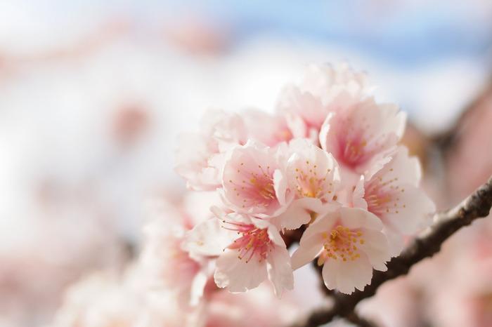 ●どんな色? ほんのり紅みを含んだ薄いピンク  ●名前の由縁 その名のとおり、うすいピンクを帯びた桜の花が由来です。別名「薄花桜」とも呼ばれ、紅染めの色の中で最も薄いとされる「桜色」よりもさらに薄い色です。桜は日本人が最も愛する花の一つ。「灰桜」や「桜鼠」など桜があてられる名前がほかにもあります。