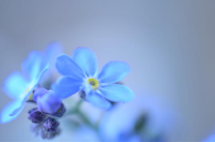 ●どんな色? 明るい青色  ●名前の由縁 勿忘草の花。春から夏にかけて薄い青色の小花を咲かせます。ヨーロッパ原産で日本には明治に伝来したため、明治に使われ始めた色名です。勿忘草は恋人たちの花とも言われ、ヨーロッパでは閏年の日に恋人たちがこの花を贈りあう習慣があります。ドイツの悲恋の伝説にちなんで名づけられた花は、なんともロマンチックな佇まいです。