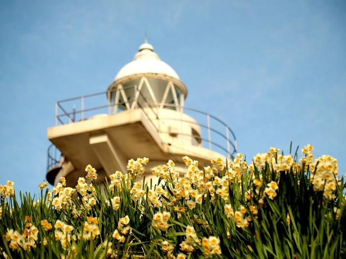 笠岡諸島の1つ「六島」は灯台と水仙の島。毎年初春を迎えると、灯台の周辺を中心に島内のあちこちに植えられた水仙が可憐な花を咲かせます。例年2月が見ごろとなる水仙に囲まれた白い灯台は一見の価値ありですよ。