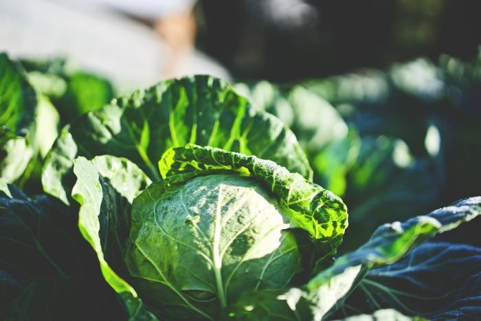 春キャベツは冬キャベツに比べて巻きがゆるく、黄緑色が強いのが特徴です。葉に甘みがあり、柔らかいので生で食べると甘みを存分に味わえます。芯をくり抜き、水でぬらしたキッチンペーパーを詰めて保存しましょう。