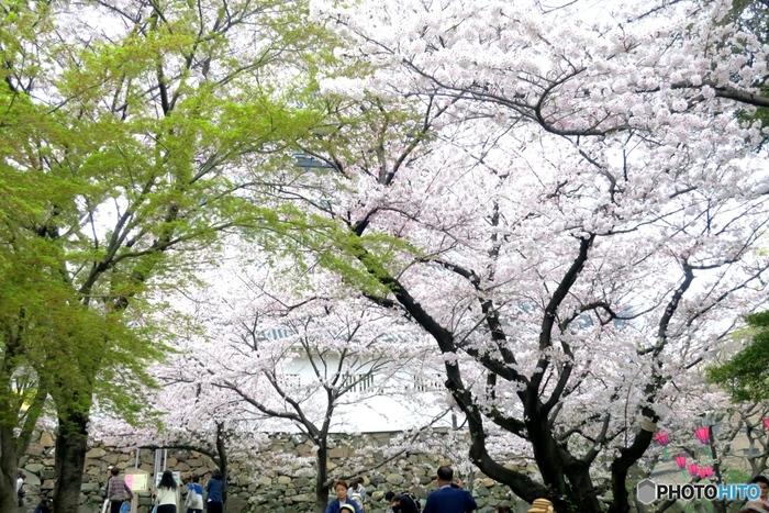 小倉城周辺を散策したり、勝山公園でお弁当を食べながら花見をしたり…思い思いに桜を満喫しましょう♪見頃は3月下旬~4月上旬頃で、3/30~3/31には小倉城天守閣前広場で「第15回小倉城桜まつり」が開催される予定です。