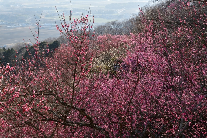 毎年2月中旬から3月下旬まで開催されている「筑波山梅まつり」。筑波山の中腹にある4.5ヘクタールの梅林に、約1,000本の白梅、紅梅が植えられていて、春の訪れを感じることができますよ。