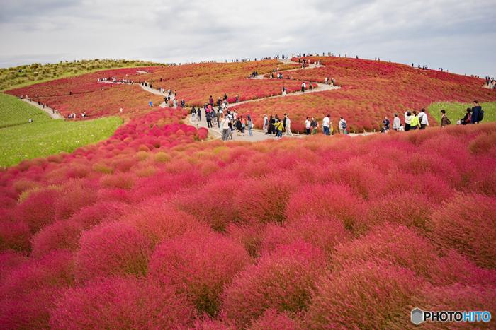 7月上旬~10月下旬に見ごろを迎える「コキア」は、こんもりと丸い形とやわらかな感触が特徴で、季節によって異なる表情を見せる、園内でも人気の植物。夏の間はライトグリーン、秋に向けて少しずつ赤く色づいていきます。遠くまで続くコキアの路をのんびり歩いてみませんか?