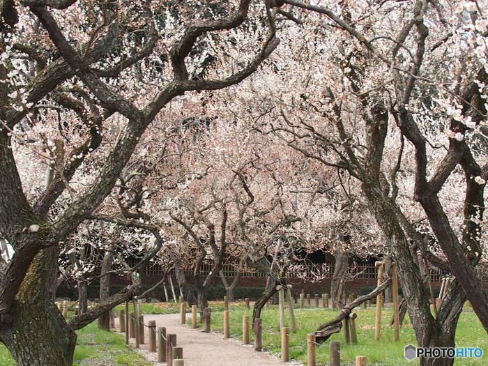 1842年(天保13年)に造園された「偕楽園(かいらくえん)」は、金沢の兼六園、岡山の後楽園とならぶ「日本三名園」のひとつで、茨城を代表する名所。園内には約100品種・3,000本の梅が植えられ、早春には観梅客でにぎわいます。