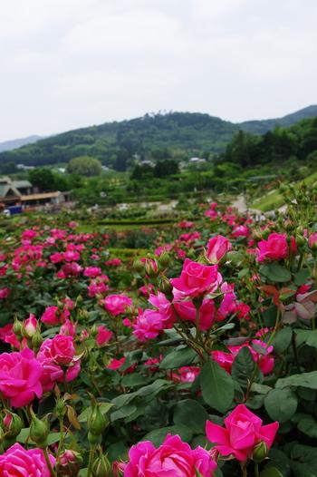 園内には、世界のバラ800品種、30,000株が植えられています。年間を通して、フラワーフェスティバルやアジサイまつり、やまゆりまつりなどが開催されているので、季節の移ろいをぜひ感じてみてください。
