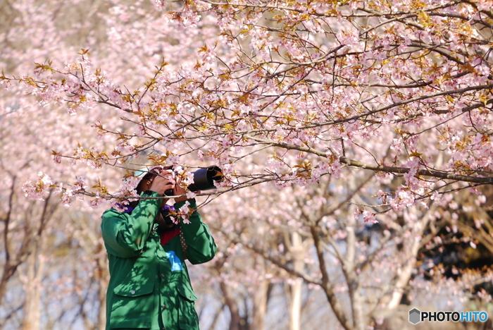 1年を通してさまざまな花が楽しめる「花と緑の楽園 茨城県フラワーパーク」。約30ヘクタールもある広大な公園で、春には満開の桜で一面がピンク色に染まります。お花見にもおすすめのスポットですよ。