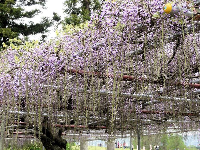 5月中旬になると、淡い紫色が美しい藤の花が見ごろを迎えます。で、ベンチに座ってゆっくり眺めたくなりますね。