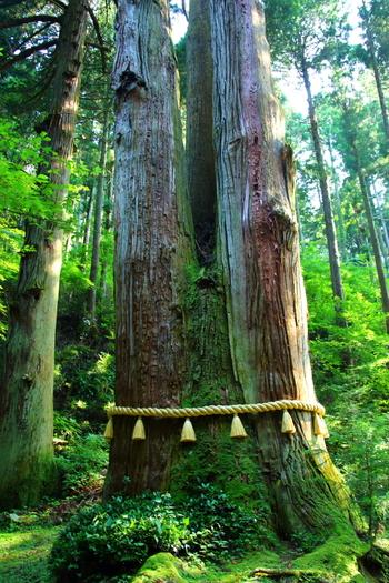 地面から約3mのところから幹が3本に分かれている推定樹齢500年の三本杉。木の三又のところに天狗が棲んでいたという伝説もあるご神木は、大切に保存されています。