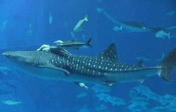 大洗にある「アクアワールド茨城県大洗水族館」は、ここでしか見られない展示が人気。そのひとつが日本一を誇るサメの飼育種類数。現在は54種類が飼育されています。間近で見る迫力ある姿に、大人も子どもも大興奮!