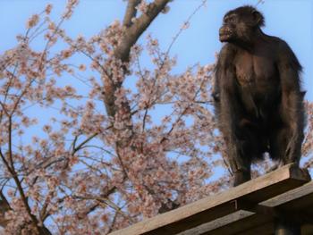 チンパンジー舎など、行動展示に力を入れていて、動物本来の動きや表情を間近に見ることもできます。